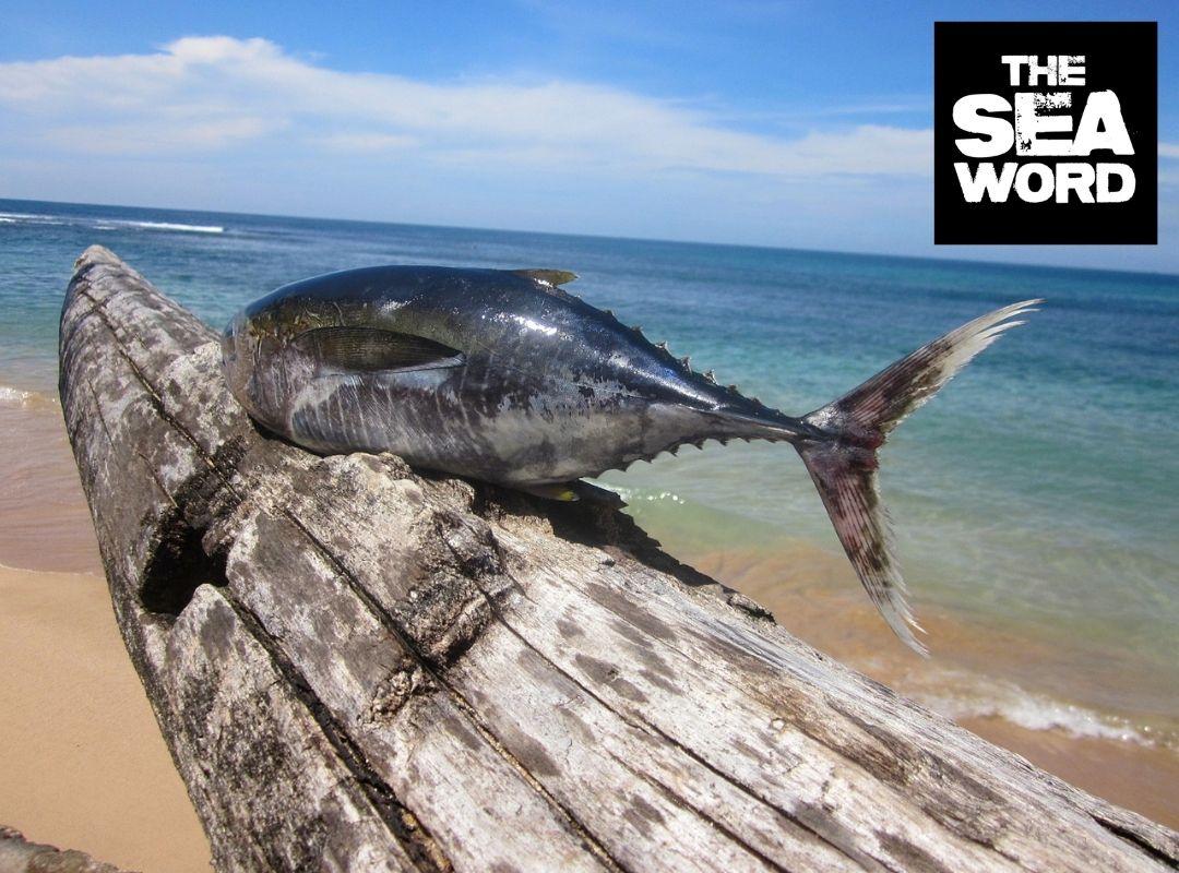 A freshly caught tuna placed on a beach
